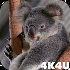 4K Cute Koala Video Live Wallpaper