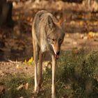 Coyote Sound