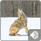 Coyote Sounds