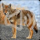 Coyote Sounds Ringtone