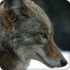 Coyote Sounds Ringtones