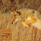 coyote wallpaper - beautiful wild animal wallpaper