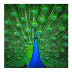 Peacock & Feather Wallpaper HD