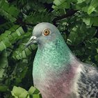 Pigeon: A Love Story