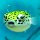 Playing with Puffer fish