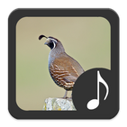 Quail Sounds