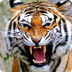 Wallpaper HD Harimau