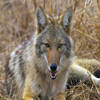 Wild Coyote Sounds